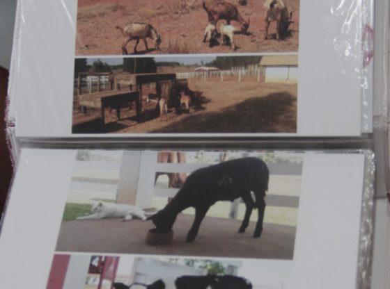 Cuidados com vacas, bezerros e caprinos (Foto: Acervo)